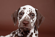 Dalmatian Dog Prints - Brown-spotted Dalmatian Puppy Portrait Print by Debra Bardowicks