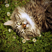 Clover Posters - Brown Tabby Cat Laying In Grass And Clover Poster by Kathryn Froilan