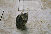 Brown Tabby Posters - Brown Tabby Cat Sitting On Tiles Poster by Todd Gipstein