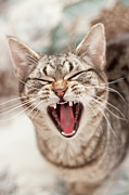 Mouth Closed Prints - Brown Tabby Cat Yawning And Showing Teeth Print by Kathryn Froilan