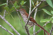 Mocking Posters - Brown Thrasher Snacking Poster by Jennifer Zelik