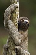 Sloth Photo Posters - Brown-throated Three-toed Sloth Poster by Ingo Arndt