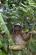 Sloth Photo Posters - Brown Throated Three Toed Sloth Male Poster by Suzi Eszterhas