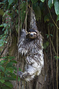 Sloth Photo Posters - Brown Throated Three Toed Sloth Mother Poster by Suzi Eszterhas
