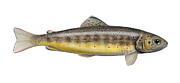 Trout Art - Brown Trout - autochthonous - indigenous - Salmo trutta morpha fario - Salmo trutta fario by Urft Valley Art