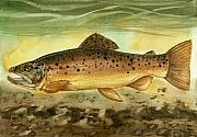 Trout Painting Originals - Brown Trout by Sean Seal