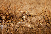 Mule Deer Buck Photograph Photos - Brush Buck by D Robert Franz