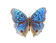 Antenna Metal Prints - Brush-footed Butterfly Of Madagascar Metal Print by MajchrzakMorel