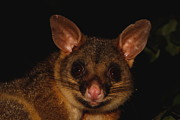 Possum Posters - Brush-tailed Possum Poster by Bruce J Robinson