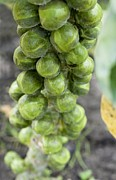 Allotment Prints - Brussel Sprouts Plant Print by Jon Stokes