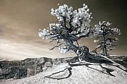Infrared Posters - Bryce Canyon Tree Sculpture Poster by Mike Irwin
