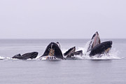 Humpback Whale Metal Prints - Bubble Feeding Humpbacks Metal Print by Darcy Michaelchuk