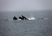 Whales Art - Bubble Netting Whales in Alaska by Gary Gunderson