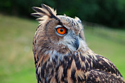 Pete Reynolds Metal Prints - Bubo bubo Metal Print by Pete Reynolds