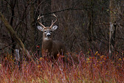 Jim Cumming Art - Buck Alert by Jim Cumming