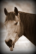 Equine Photographs Framed Prints - Buck Being Sassy Framed Print by Tam Graff
