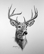 Graphite Portraits Drawings - Buck Deer by Roy Kaelin