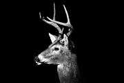 Stag Metal Prints - Buck In Black And White Metal Print by Malcolm MacGregor