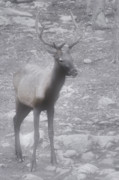 Horns Photos - Buck in Fog on Hurricane Ridge - Olympic National Forest - Olympic National Park WA by Christine Till