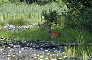 Buck In Pond Print by Karol  Livote