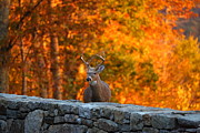 Mountain Digital Art Prints - Buck in the Fall 01 Print by Metro DC Photography