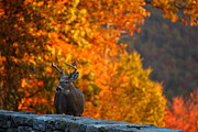 Leaf Photo Prints - Buck in the Fall 02 Print by Metro DC Photography