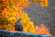 Fur Photos - Buck in the Fall 04 by Metro DC Photography