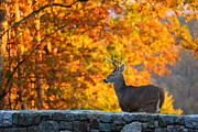 Antlers Metal Prints - Buck in the Fall 05 Metal Print by Metro DC Photography