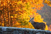 Buck In The Fall 06 Print by Metro DC Photography
