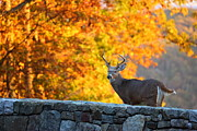 Wild Photo Metal Prints - Buck in the Fall 07 Metal Print by Metro DC Photography