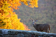 Antlers Metal Prints - Buck in the Fall 08 Metal Print by Metro DC Photography