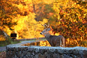 Stonewall Metal Prints - Buck in the Fall 09 Metal Print by Metro DC Photography