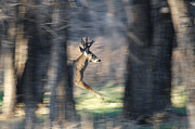 Whitetails Framed Prints - Buck Running thru the woods Framed Print by Ernie Echols