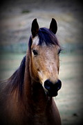 Equine Photographs Framed Prints - Buck Framed Print by Tam Graff