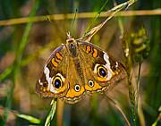 Barry Jones - Buckeye Butterfly