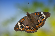 Insects Photo Originals - Buckeye Butterfly by Bonnie Barry