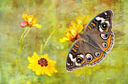 Blue And Brown Photos - Buckeye Butterfly in the Meadow by Bonnie Barry