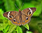 Wild Wings Metal Prints - Buckeye Butterfly Metal Print by Nick Zelinsky