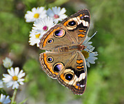 Rodney Campbell - Buckeye Butterfly