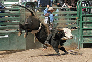 Bull Riders Photos - Bucking Bulls 101 by Cheryl Poland