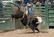 Bucking Bulls 101 Print by Cheryl Poland