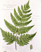 Diagram Prints - Buckler Fern Print by WJ Linton