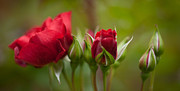 Red Roses Prints - Bud Bloom Blossom Print by Mike Reid
