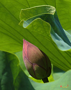 Lotus Buds - Bud Watched Over DL050 by Gerry Gantt