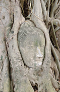 Spirituality Reliefs Metal Prints - Buddha Head in a Tree Metal Print by Kanoksak Detboon