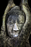 Ancient Digital Art Metal Prints - Buddha Head in Banyan Tree Metal Print by Adrian Evans