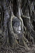 Buddhist Prints - Buddha Head in Tree Print by Adrian Evans