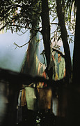 Religions Prints - Buddhist Prayer Flags Hang From Trees Print by Ed George