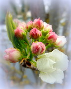 Crab Apple Tree Blossoms Prints - Budding Apples 3 Print by Cindy Wright