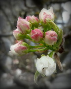 Crab Apple Tree Blossoms Prints - Budding Apples Print by Cindy Wright